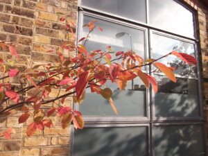 Amelanchier autumn colour in architect's courtyard