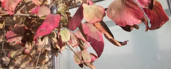 Parrotia tree, tree autumn colour