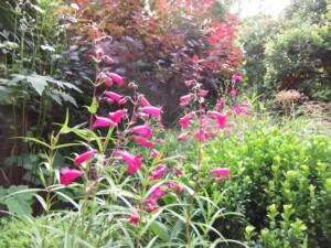 Plunket Gardens Penstemon