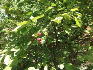My garden wildlife Amelanchier berries
