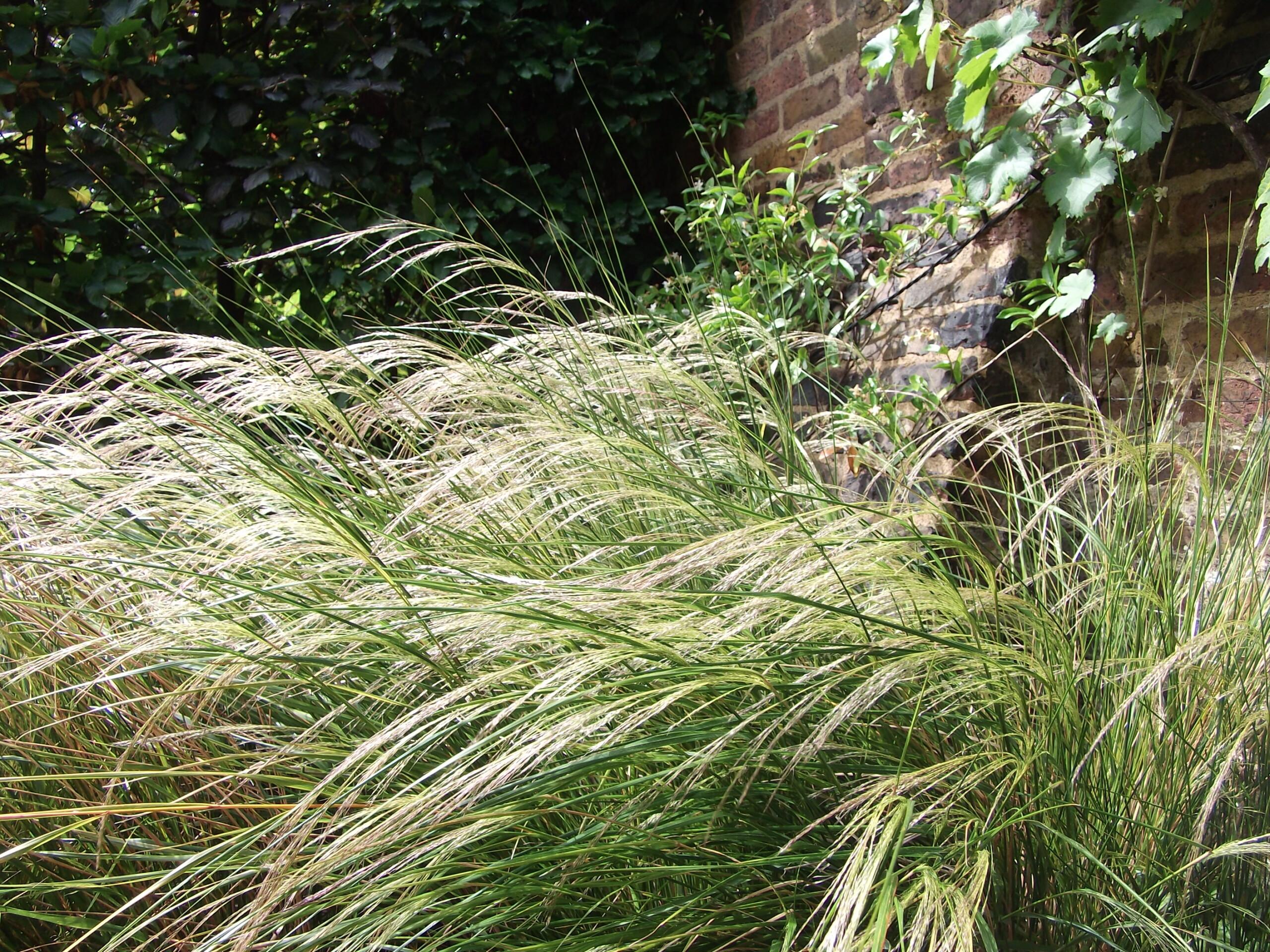 My garden ornamental grasses