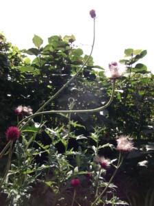 My garden wildlife Cirsium