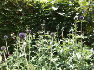 My garden summer colour Erysium