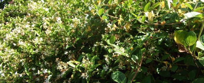 My garden scent Jasmine and Honeysuckle