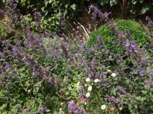My garden summer colour Nepeta
