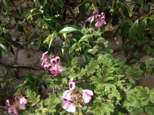 My garden summer colour pale pink pelargonium