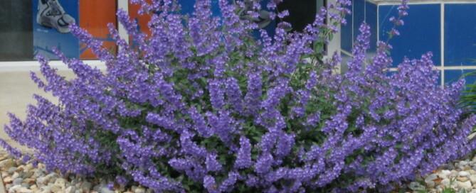 Lavender plant alternatives