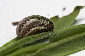 Rosemary beetle larva