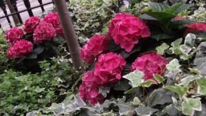 Plunket Gardens hotel front planting autumn Hydrangea detail