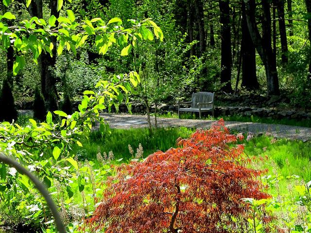 Purple Japanese Maple, naturalistic lawn