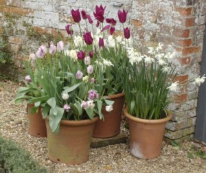 Tulips and Narcissus bulbs in pots