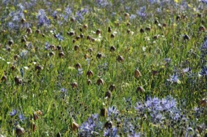 Fritilaria and Bluebells