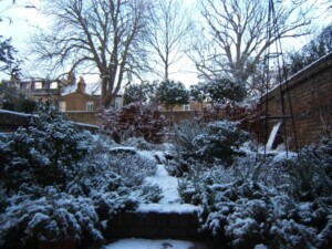 Creeping Rosemary, Box topiary and Beech hedge in snow