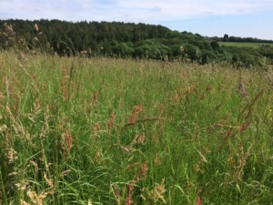 Chilterns meadow