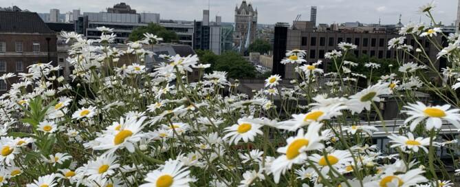 biodiverse brown roof Aldgate Plunket Gardens
