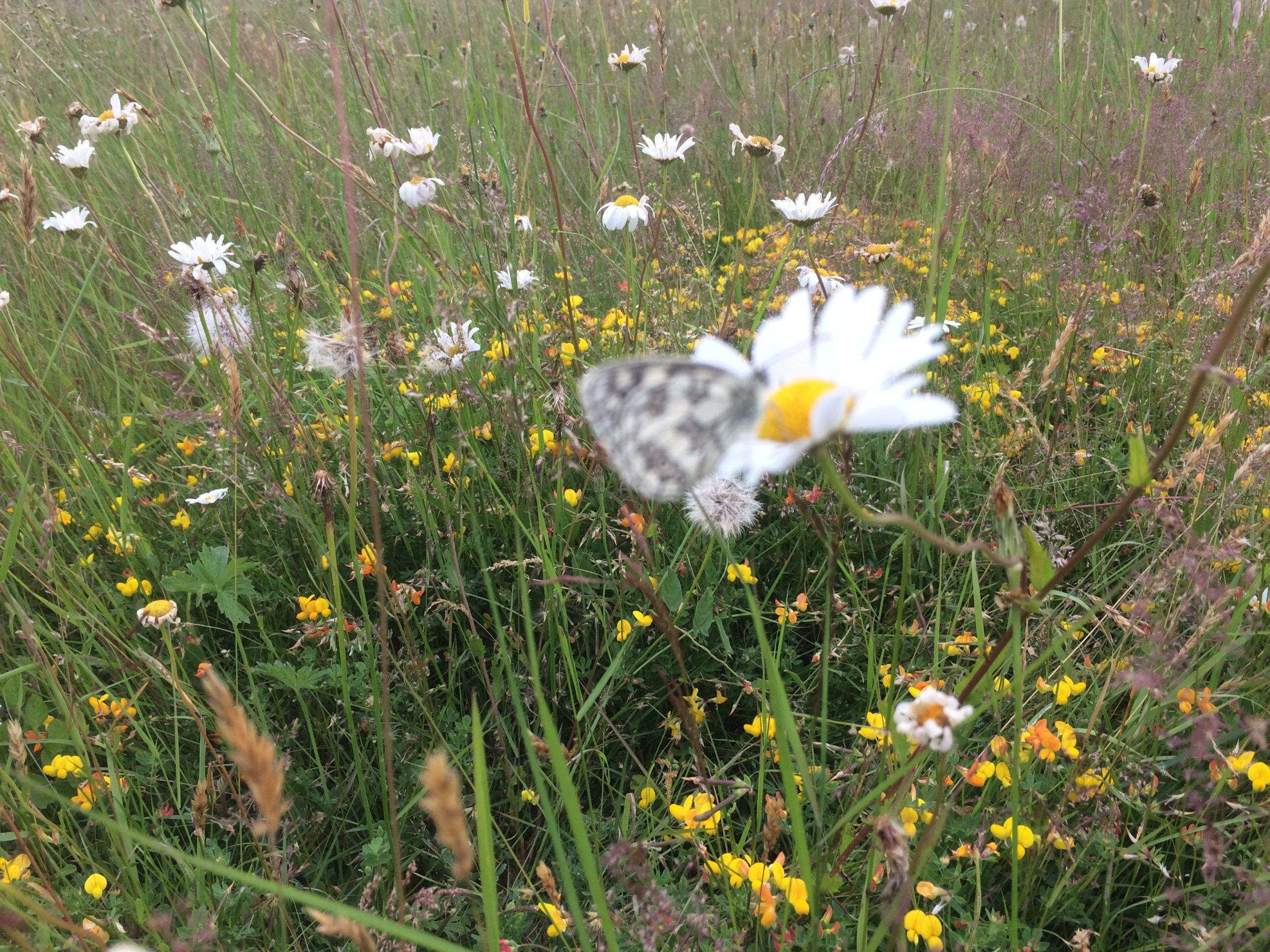 Chiltern Forage Farm marbled white butterfly Oxeye Daisy
