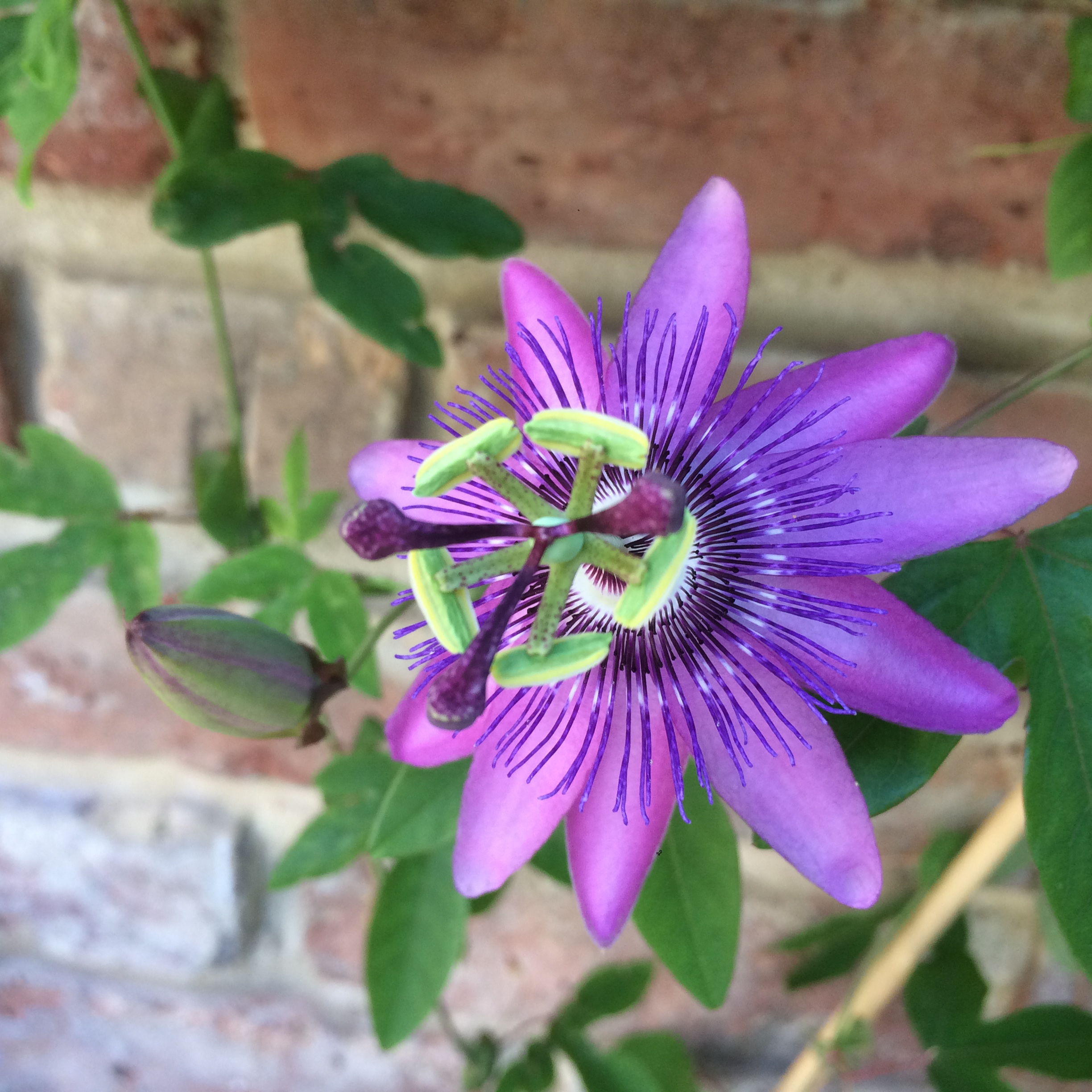 Passionflower Lavender Lady
