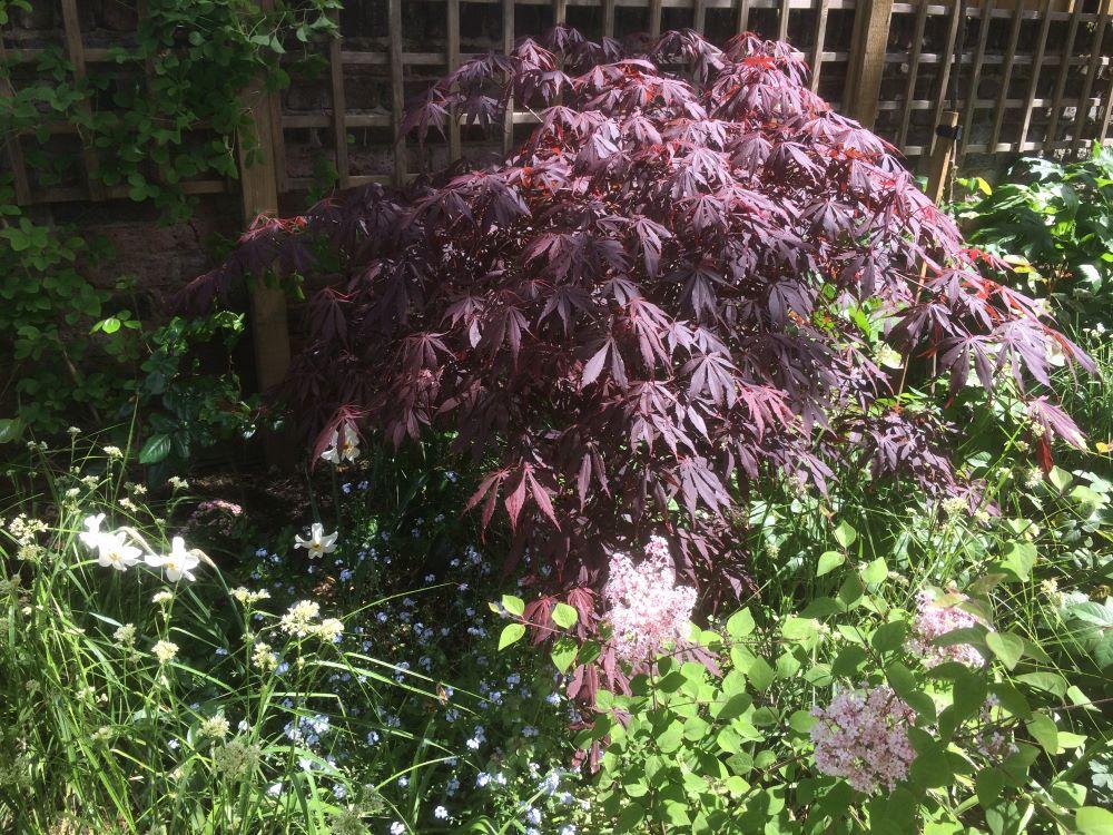 Japanese maple purple